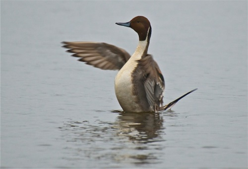 pintail drake copy