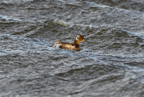 little grebe:scrape