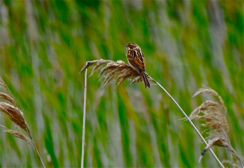 reed bunting f