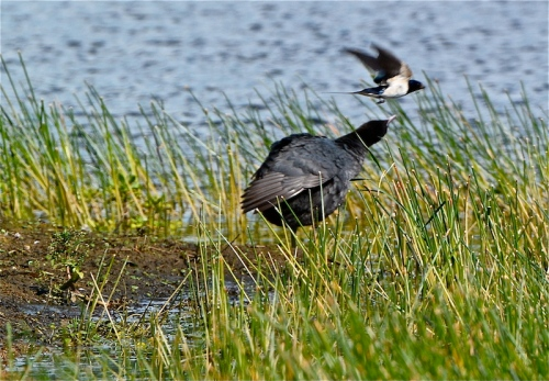 swallow:coot