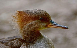 hooded merganser  F