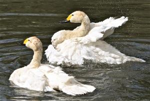 Bewick's swans