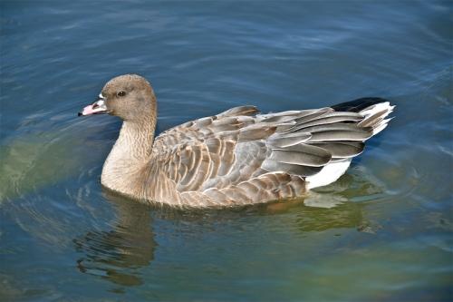 pink legged goose