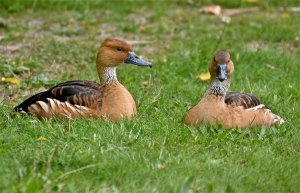 folvous whistling ducks
