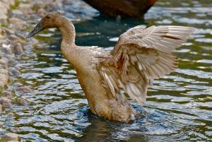 Indian running duck