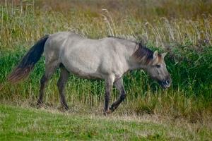Konic pony