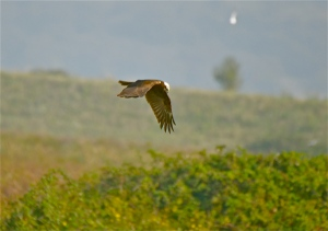 marsh harrier F2