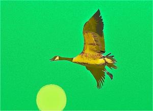 canada goose 3
