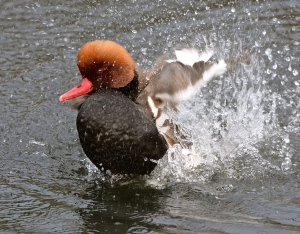 red crested pochard drake