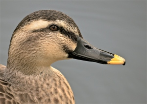 spot-billed duck