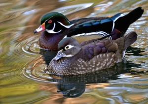 American wood ducks