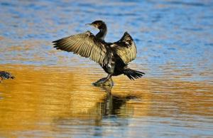 cormorant WWT