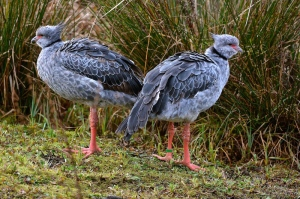 southern crested screamers