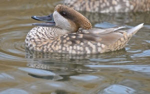 marbled teal drake