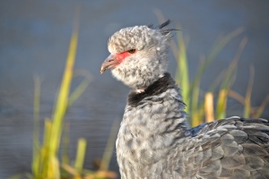 southern crested screamer